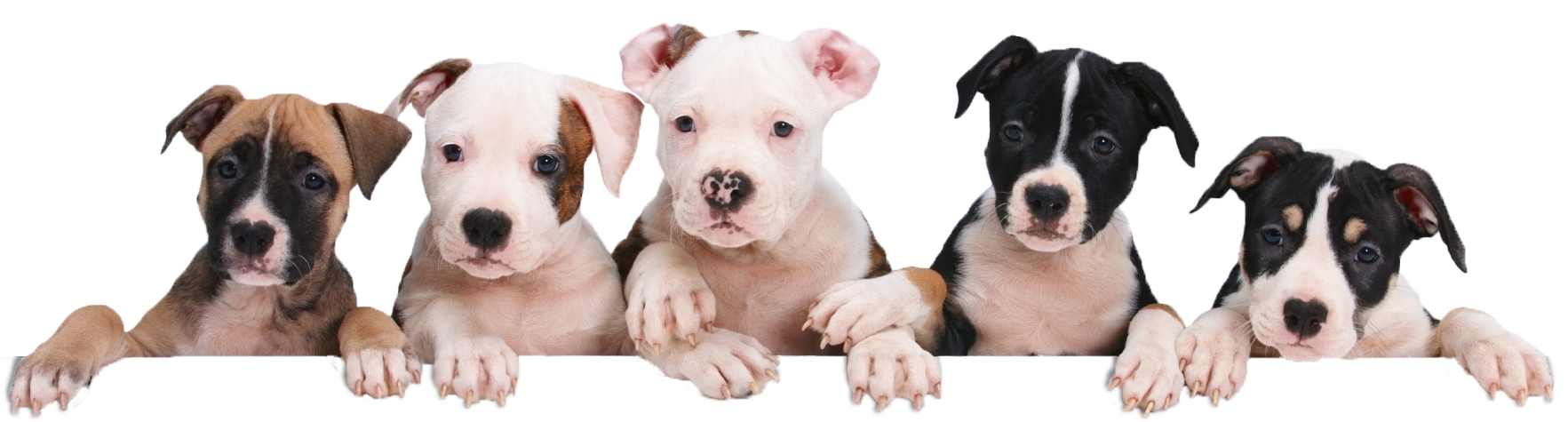 Petland Dog For Sale
